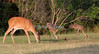 White-tailed deer, sandhill cranes and cardinal. How cool is that??