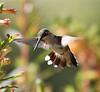 Hummingbird in flight. Cigar plant