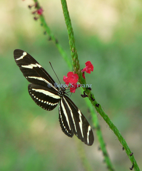 Zebra longwing on salmon porterweed.