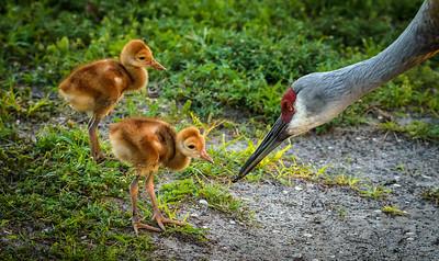 Sandhill crane colts