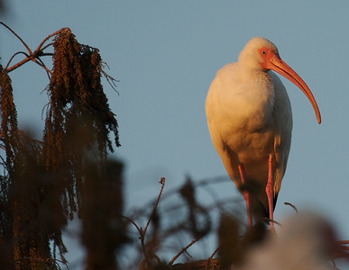 White Ibis in tree at sunrise