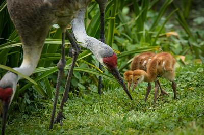 Sandhill crane colts with parents