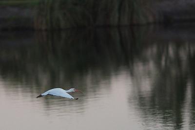 White Ibis pre dawn