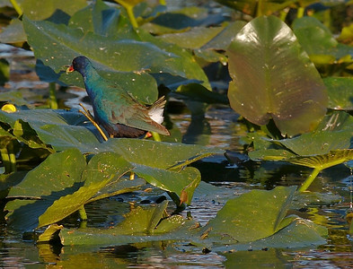 Purple Gallinule (check out the leg and foot)