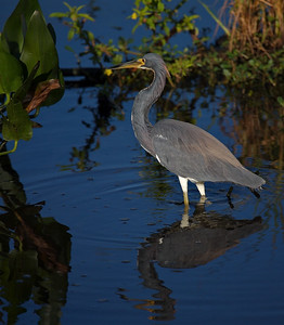 Tricolored Heron in deep blue water