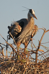 Great Blue Heron on the nest