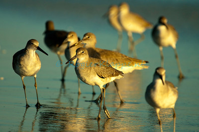 Tringa semipalmata (Willets) - Florida