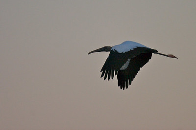 Wood Stork up before the sun