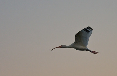 White Ibis takes a pre-dawn flight