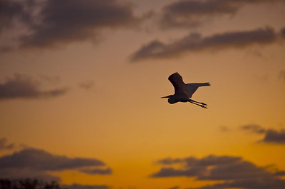 Great Egret in morning twilight