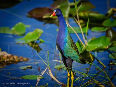 Saturday, March 10, 2012. Purple Gallinule in the Florida Everglades.