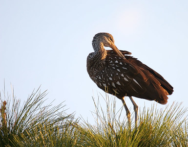 Limpkin in tree top