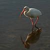 2003-white ibis_Ding Darling NWR