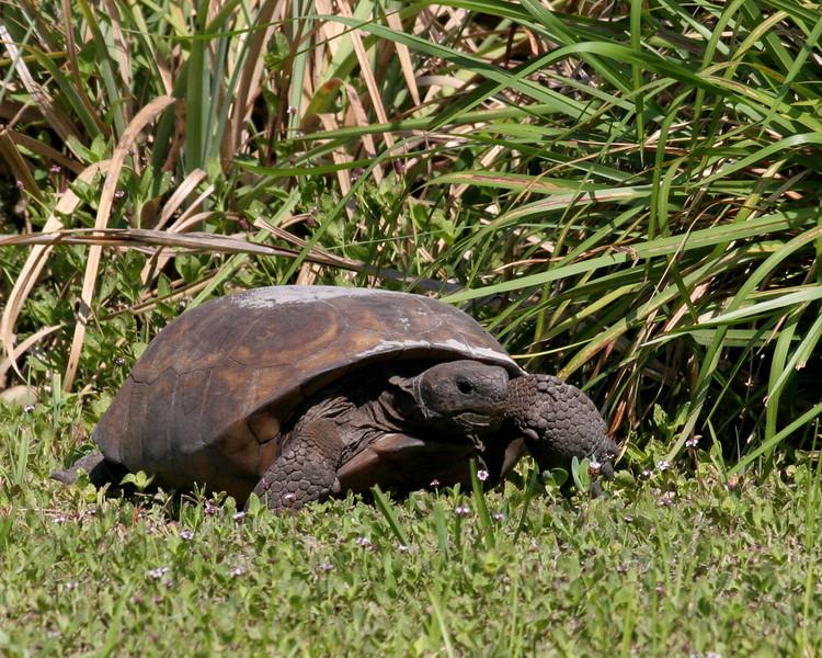 2008-gopher tortoise_Egmont Key