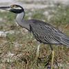2003-yellow crowned night heron_Ding Darling