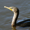 2011-double-crested cormorant- Everglades NP