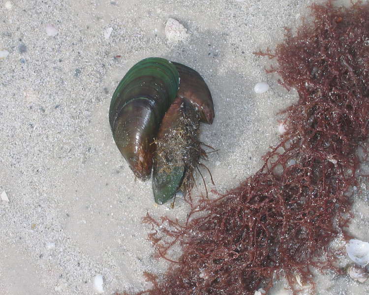 2007-Asian green mussel on Ft Desoto North Beach