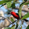 2008-scarlet tanager at mulberry tree- Ft Desoto