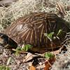 2007-Eastern box turtle_Emerson Point
