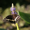 2008-palamedes swallowtail- Everglades