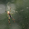 2012- golden orb weaver spider- Ft Desoto