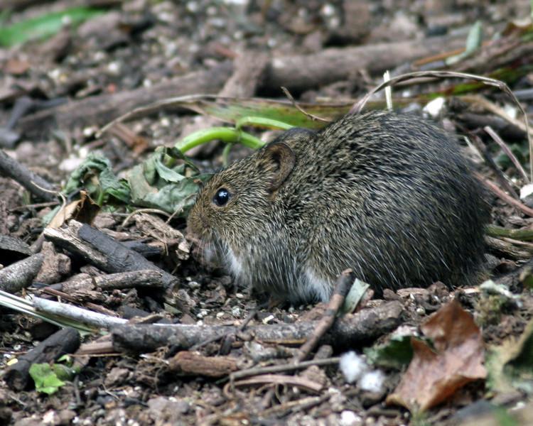 2008-hesperdes mouse_Corkscrew Swamp