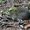 2008-hesperdes mouse_Corkscrew Swamp