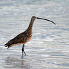 2012- long-billed curlew- Ft Desoto- March