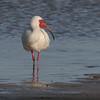 2007-white ibis_Ft Desoto