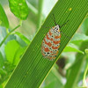 2007-rattlebox tiger moth- Emerson Point