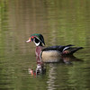 2008-wood duck_Emerson Point2
