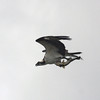 2010- osprey with big fish_ Loxachatchee NWR- dec 2010