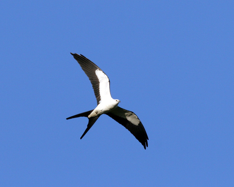2008-swallowtail kite_Everglades3