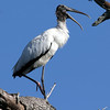 2007-woodstork2_Emerson Point