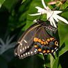 2007-black swallowtail_River Wilderness backyard