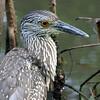 2003-yellow crowned night heron juvenile_Ding Darling