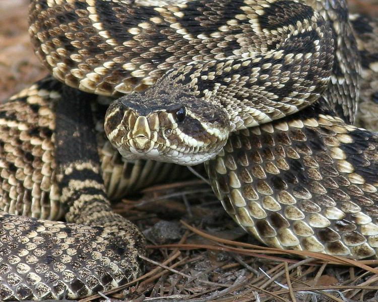 2008-eastern diamondback rattlesnake2_Little Manatee River SP