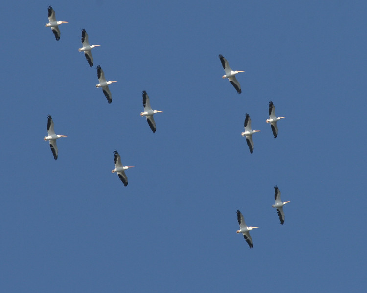 2007-white pelicans soaring_Emerson Point