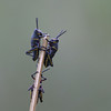 2007-southern lubber grasshoppers_Corkscrew Swamp