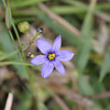 2008-blue-eyed grass
