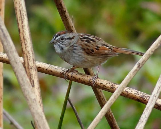2018_ swamp sparrow_Celery Fields_March_AQ3T6664