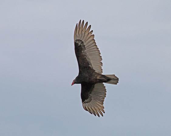 2018_ turkey vulture_River Wilderness stormwater ponds_Jan_IMG_0394