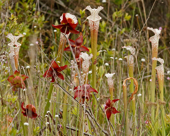 2018_ whitetop pitcher plant and parrot pitcher plant red flower_Tarkiln SP_FL_April_G5A2982