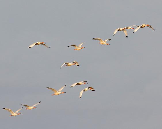 2018_ white ibis_Cedar Key_May__G5A3580b