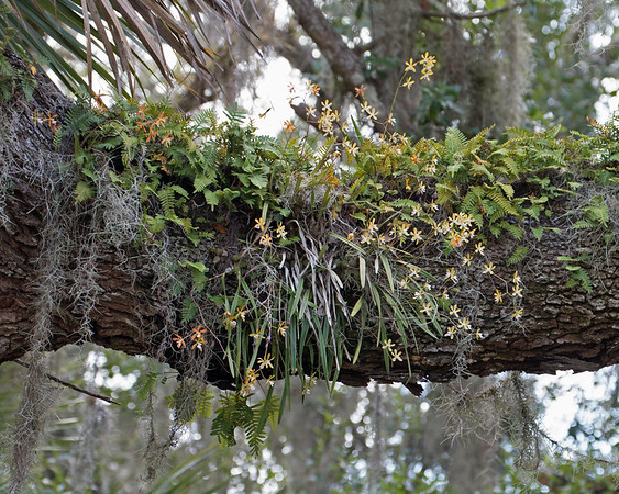 2018_ Tampa butterfly orchid and fern_Myakka River SP_July 2018_MG_3409