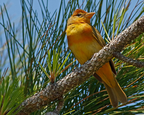 2018_ summer tanager_Ft Pickens_FL_APril_G5A2529