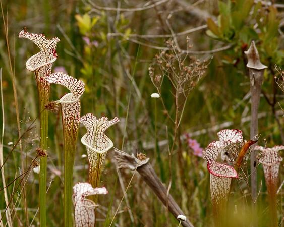 2018_ whitetop pitcher plants_Tarkiln SP_April_G5A2934