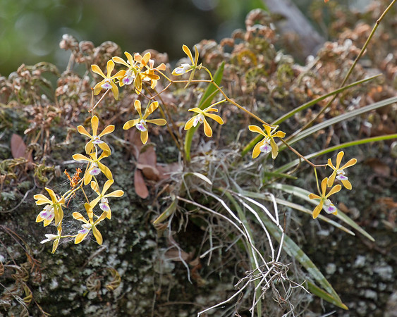 2018_ Tampa butterfly orchid_Myakka River SP_June_MG_3032