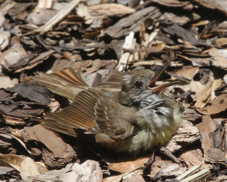 2013- great crested flycatcher3 sunning- Parrish backyard- summer