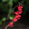 2016_cardinal flower_Eureka Springs Park_FL_Oct_IMG_7030